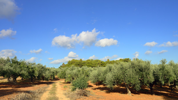 olive-field